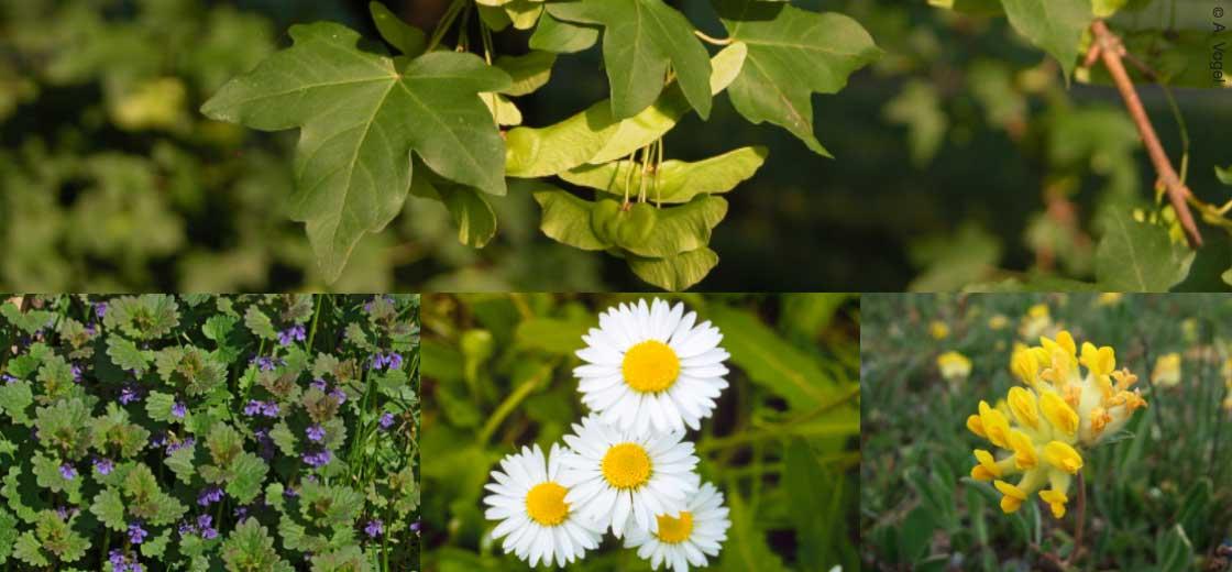 Heilpflanzen A. Vogel